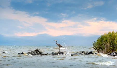 great bay: Great Blue Heron standing on a jetty over looking the Chesapeake Bay in Maryland with waves splashing Stock Photo