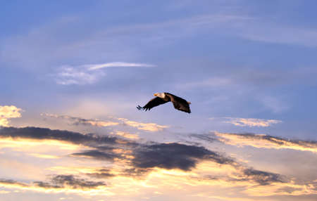 Bald Eagle soaring over a sunset sky Stok Fotoğraf