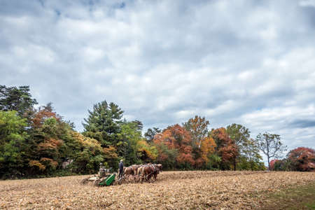 belgian horse: Belgian Draft Horses pulling a plow through a field on a Pennsylvania Dutch farm in Autumn Stock Photo