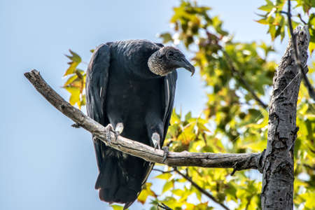 bask: Black Vulture perched in a tree basking in the sun Stock Photo