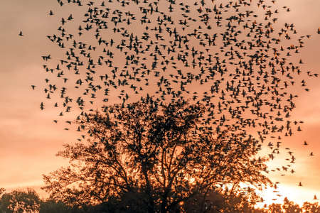 Large flock of Starlings flying over a tree silhouette at sunset
