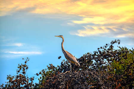 Great Blue Heron in a Pine Tree at Sunset looking out over the Chesapeake Bay