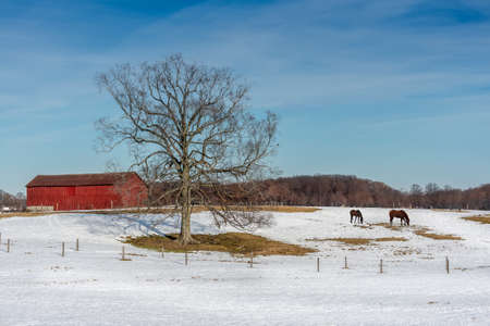 red barn: Maryland farm in Winter with Horses grazing in the snow, red barn and Elm tree