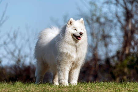 Samoyed dog standing on hilltop in the sun