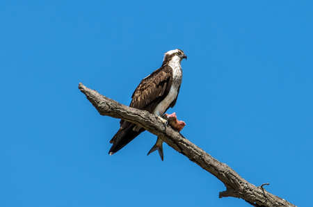 devour: Osprey perched on a branch holding a large Rockfish over the Chesapeake bay in Maryland