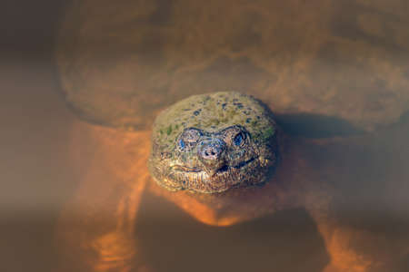aggresive: Close-up of the face of a large Snapping Turtle sticking its head out of the water in a Chesapeake Bay pond
