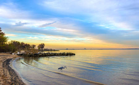 great blue heron: Great Blue Heron catching a fish on a Chesapeake Bay beach at sunset