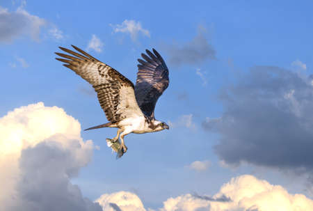 talons: Osprey flying in the clouds over the Chesapeake Bay with fish in talons Stock Photo