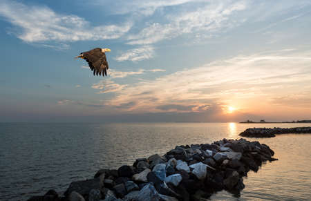 Bald Eagle flying over a jetty at sunset on the Chesapeake Bay in Maryland Stok Fotoğraf