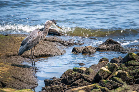 Great Blue Heron looking for a fish on the Chesapeake Bay in Maryland Stok Fotoğraf