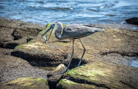 great bay: Great Blue Heron fishing on theChesapeake Bay catching a Maryland Blue Crab