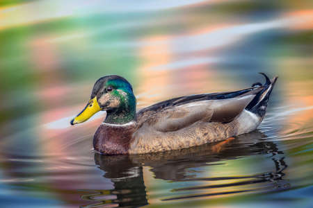 Mallard Duck swimming in water reflecting Autumn colors