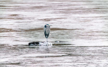 Great Blue Heron standing on a frozen lake in Winter