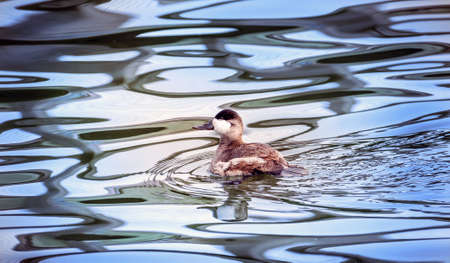 Ruddy duck swiming in a pond in Maryland with Autumn reflections