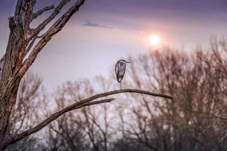 Great Blue Heron perched on a tree branch with a setting sun