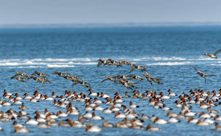 Flock of Canvasback ducks flying and swimming on the Chesapeake bay in Maryland during winter Stok Fotoğraf