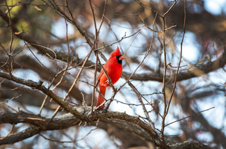 Northern Cardinal perched in a tree during Winter