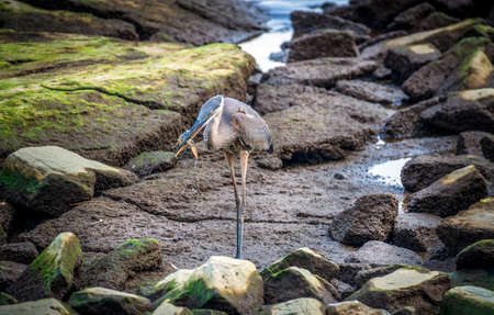 Great Blue Heron catching a Maryland Blue crab on the Chesapeake Bay