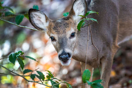 White Tailed Deer peeking through a holly bush in a Maryland forest