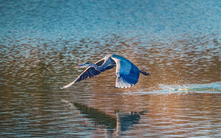 Great Blue Heron flying low over the Chesapeake Bay in Maryland