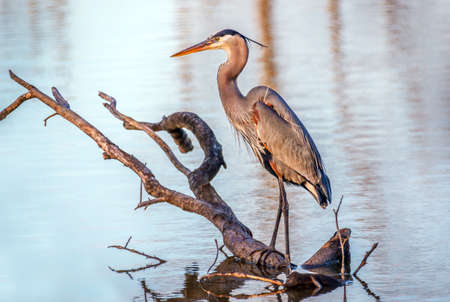 Great Blue Heron fishing from a tree branch in a pond on the Chesapeake Bay in Maryland