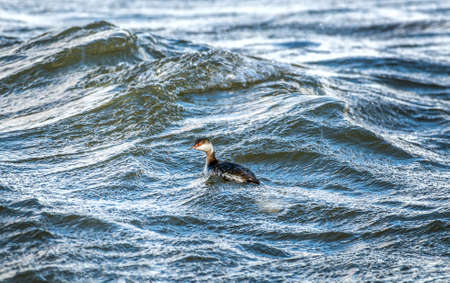 Horned Grebe fishing in the waves of the Chesapeake Bay