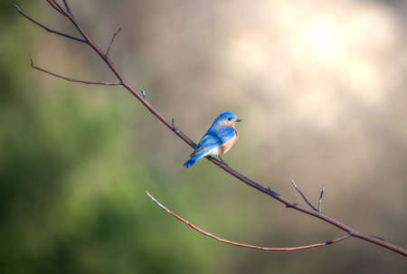 Bluebird perched on a tree branch in the sunlight in Maryland