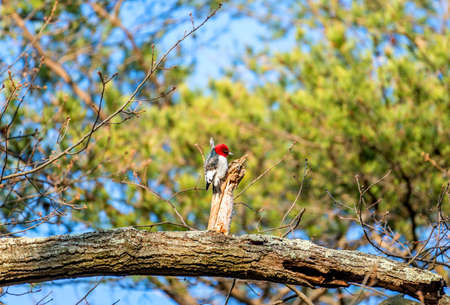 Red Headed Woodpecker searching for food on an Oak tree on a sunny Spring day in a Maryland forest