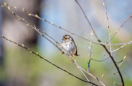 Wid Sparrow perched in a tree in Spring with budding branches