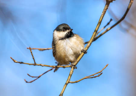 Black Crowned Chickadee in the sunlight on a branch during Spring