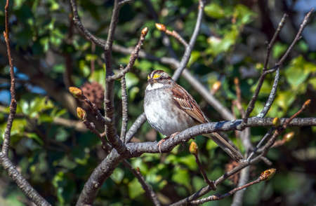 White throated Sparrow perched on a budding tree branch during Spring
