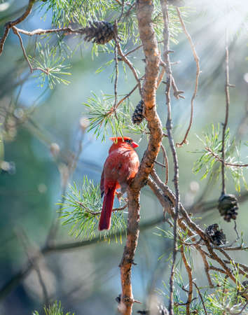 Northern Cardinal perched in a pine tree basking in the sunlight on a cold Winter day