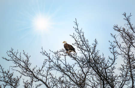 Bald Eagle perched in a tree basking in the sun rays in Spring.