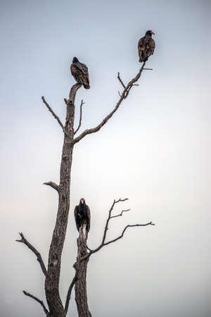 死んだ木でとまられて 3 つのトルコ猛禽類