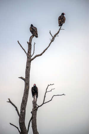 Three Turkey Vultures perched in a dead tree Stock Photo