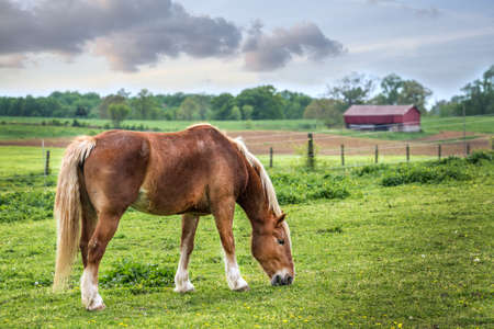 Horse quietly grazing in a grassy field on a Maryland farm in Spring with red barn in the background
