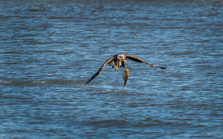 American Bald Eagle catching a large fish in the Chesapeake Bay in Maryland Stok Fotoğraf - 78757322