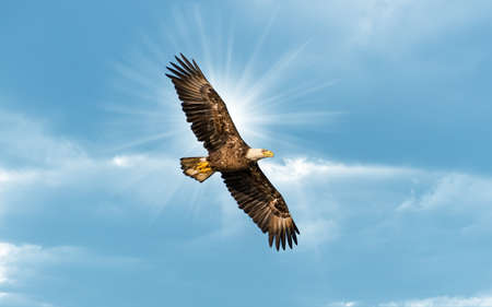 Bald Eagle soaring in a blue sky with sun beams over wing