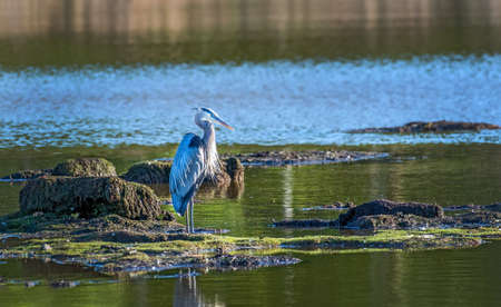 Great Blue Heron standing in the sun on a small island in a Chesapeake Bay pond Stok Fotoğraf - 79728153