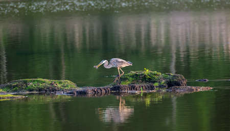 Great Blue Heron happily walking with a fish in its beak in a pond on the Chesapeake Bay in Maryland Stok Fotoğraf - 79707621
