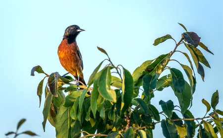 Orchard Oriole Songbird perched on a green bush in the sun