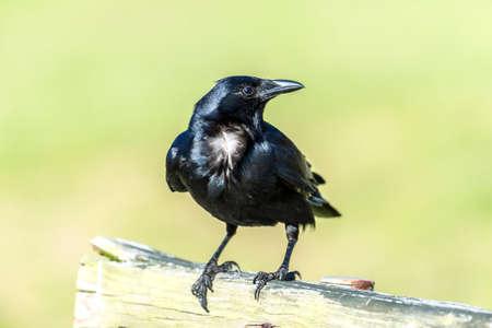 Closeup of a black crow standing on a bench Stok Fotoğraf - 81599919
