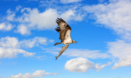 Osprey flying in the clouds over the Chesapeake Bay with a very large fish in its talons Stok Fotoğraf - 81599925