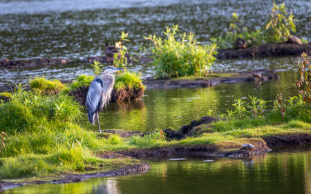 Great Blue Heron standing in the grass on an island on a sunny day in the Chesapeake Bay in Maryland Stok Fotoğraf - 84229851