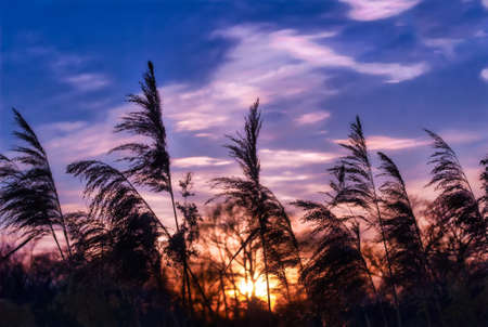 Glowing sunlight shining through phragmite grasses on a wwtland on the Chesapeake bay in Maryland at sunset Stok Fotoğraf
