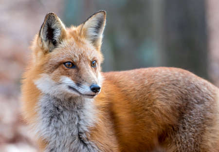Closeup portrait of a wild Red Fox