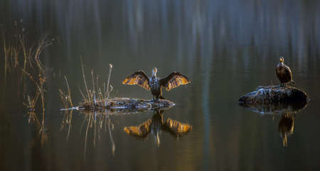 Two Cormorants basking in the sun on a Chesapeake bay lake in Maryland during Winter Stok Fotoğraf