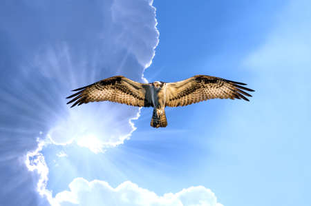 Osprey soaring with the clouds with sunrays under its wing