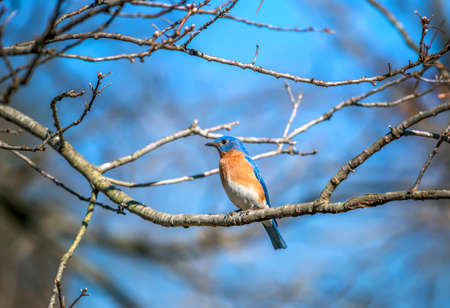Closeup of a colorful Eastern Bluebird perched on a tree branch in the Spring Stok Fotoğraf