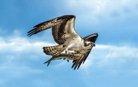 Osprey flying in blue cloudy sky with large fish in talons